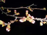 倉敷市内某所の桜
