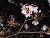 4/5倉敷某所の桜